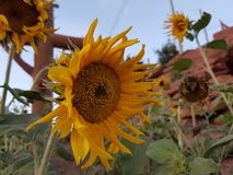 Sunflower backgrounds. Forest nature naturalistic native Background flower stock images