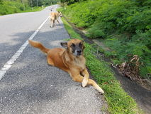 Dog on the road. Forest nature naturalistic native Background on the road stock photos