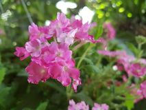 Flower, pink. Forest nature naturalistic native Background Royalty Free Stock Photo