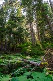 Forest near Mount Rainier`s Box Canyon Stock Images