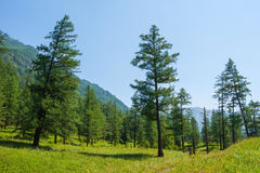 Forest near the river Kucherla. Trekking in the Altai Mountains Royalty Free Stock Photography