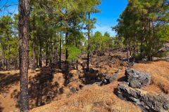 Forest near volcano Teide in Tenerife island - Canary Spain royalty free stock photos