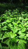 Forest nettle Stock Images