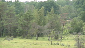 Forest next to a marsch. Marsh land on the island of Gotland in Sweden stock video footage