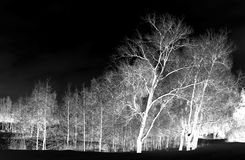 Forest at night. Scenic view of white trees in forest at night with infrared effect Stock Photography