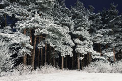 Forest At Night. Snow-covered Coniferous Trees In The Forest At Night Stock Photos