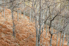 Forest of oaks and ferns in winter. Route of the Roman channels of the Oza. Bierzo, Leon, Spain. Stock Image