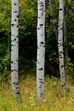 Forest Of Autumn Fall Trees Birch Maple Stock Photos