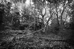 Forest. Old linden forest, black and white Stock Image