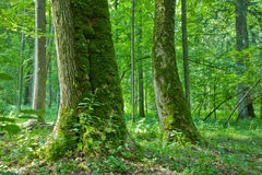 Forest with old maple trees. Old natural forest with mossy maple trees in foreground royalty free stock images