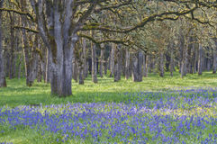 Forest of old oak trees with meadow of  blooming blue camas wildflowers Stock Photography