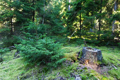 Forest. Old stump and young fir tree, sunny woods inforest Stock Photos