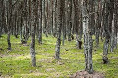 Forest with old twisted pine trunks Stock Images