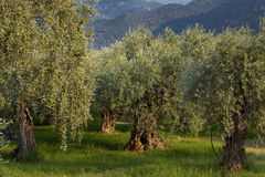 Forest of olive trees. On the island of Thassos in Greece royalty free stock photography