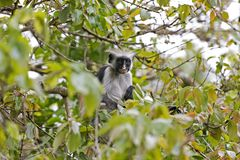 Red colobus monkey in Jozani Forest, Zanzibar, Tanzania Royalty Free Stock Photography