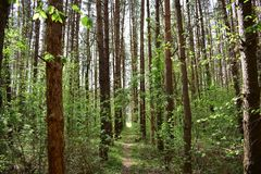Pine forest is one of the most favorite places for millions of people, where you can find peace of mind. The forest is one of the most favorite places for stock photos