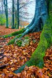 Forest of Opakua in autumn stock image