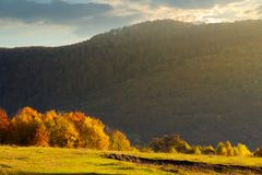 Forest with orange foliage on a grassy meadow. In mountains at sunrise in autumn royalty free stock image