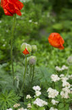 Forest. Orange poppy flowers in the forest royalty free stock photos
