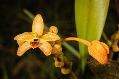 Forest orchid Thte scientific name Eria discolor Lindl, in rainf Royalty Free Stock Photos