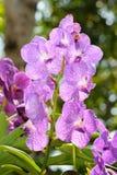Forest orchid (Vanda Emma van Deventer) in rain forest, Thailand Royalty Free Stock Photo