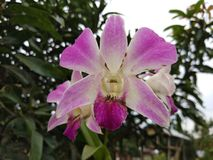 Orchid  flowers. Forest orchids planted in the yard also make the beauty of our homes Stock Photos
