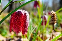 Forest Orheiului fläckig tulpan i Bistrita Natur tulpan som nyanseras, gräsplan, blommor, skog fotografering för bildbyråer