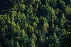 Forest Overview à feuilles persistantes Arbres foncés photo stock