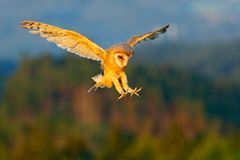 Forest with owl. Beautiful bird in fly. Nice evening sun. Barn Owl, nice light bird in flight, in the grass, outstretched wings, a Stock Photos