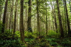 Forest in Ozette at Olympic National Park Royalty Free Stock Image