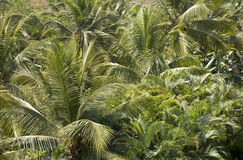 A forest of palm trees Royalty Free Stock Images