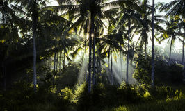 Forest of palm trees in morning mist Stock Image