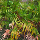 Forest Palmetto Landscape Everglades Royalty Free Stock Images