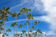 Forest of palms under blue sky Royalty Free Stock Images