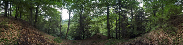 Forest panorama Stock Image