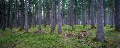Forest Panorama fotografia stock