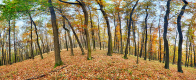 Forest panorama at autumn Royalty Free Stock Image