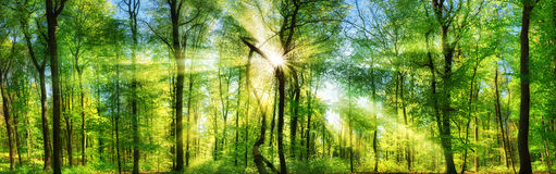 Forest panorama with enchanting rays of sunlight. Scenic forest of fresh green deciduous trees with the sun casting its enchanting rays through the foliage Stock Photo