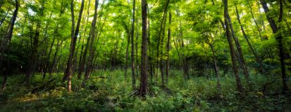 Forest panorama with heavy foliage. Forest panorama during summer day with heavy green foliage Royalty Free Stock Images