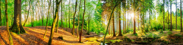 Forest Panorama In Bright Sunshine Royalty Free Stock Images