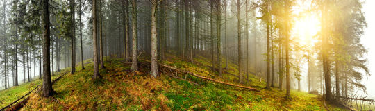 Forest panorama Stock Photography