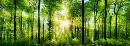 Forest panorama with rays of sunlight. Panorama of a scenic forest of fresh green deciduous trees with the sun casting its rays of light through the foliage Stock Photos