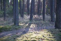 Forest panorama with rays of sunlight Stock Photo