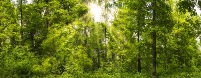 Forest panorama in the spring with sunbeams Stock Photography