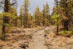 Forest partially burned Royalty Free Stock Photography