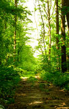 Forest path. In sunny day Royalty Free Stock Photo