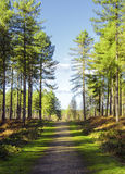 Forest Path. Dappled sunlight on a path through a forest of pine trees Royalty Free Stock Photography