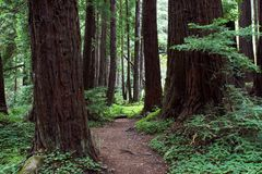 Forest path. Trail through redwood forest early motning Royalty Free Stock Photography