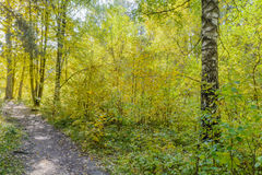 Forest Path. Autumn, Early autumn, Forest, Forest Path, Grove, Leaves, Leaves of the trees, Path In The Woods, Rays of sunlight, Sunlight, Sunlight in the Stock Photography