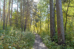 Forest Path. Autumn, Early autumn, Forest, Forest Path, Grove, Path In The Woods, Pine tree, Pines, Rays of sunlight, Sunlight, Sunlight in the branches, Trees Royalty Free Stock Photography